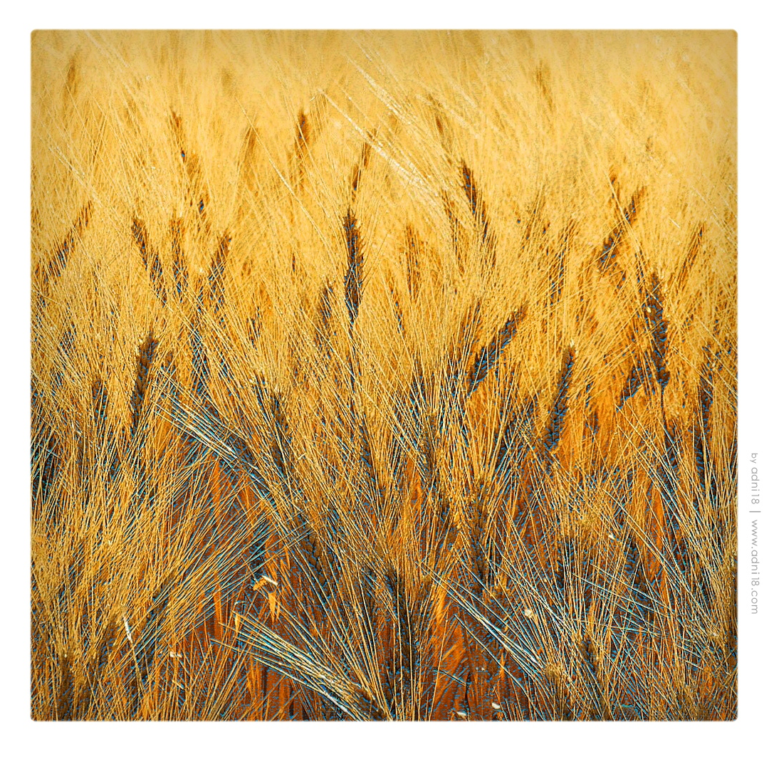 Wheat Area